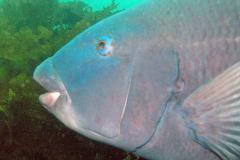 Blue-grouper