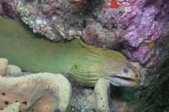 Golden-moray