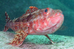 Lizzardfish-on-rock