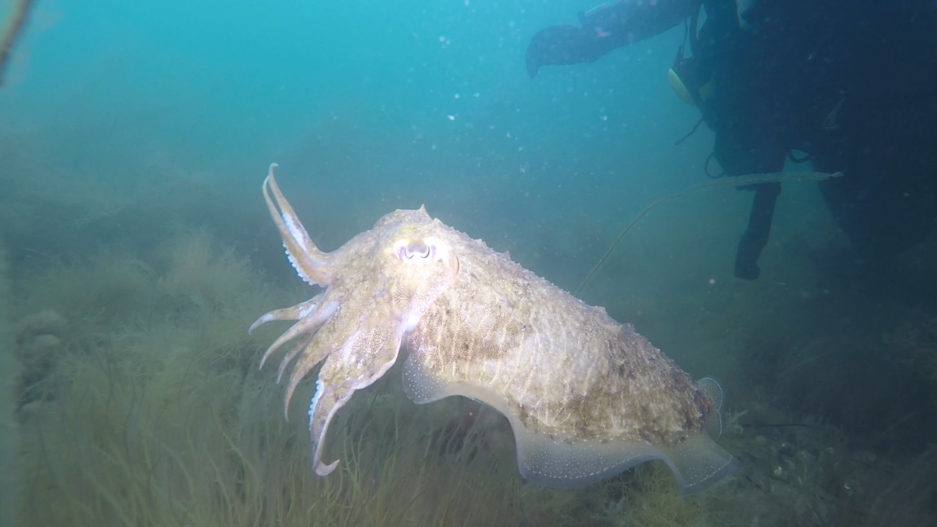 Cuttlefish under Swanage Pier