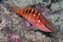 Hogfish-1