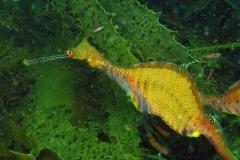 Weedy-dragonfish-10