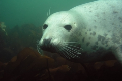 Seal-Close-Up-Looking-at-Camera