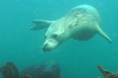 baby-seal-swimming-down