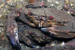 velvet-swimming-crabs-mating