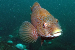 wrasse-looking-into-camera