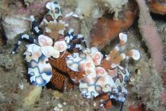 07-harlequin-shrimp10