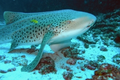 08-leopard-shark-lifting-off