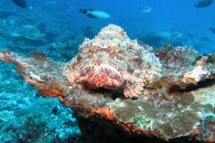 12-Pom-stonefish-3
