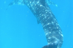 16-whaleshark whole
